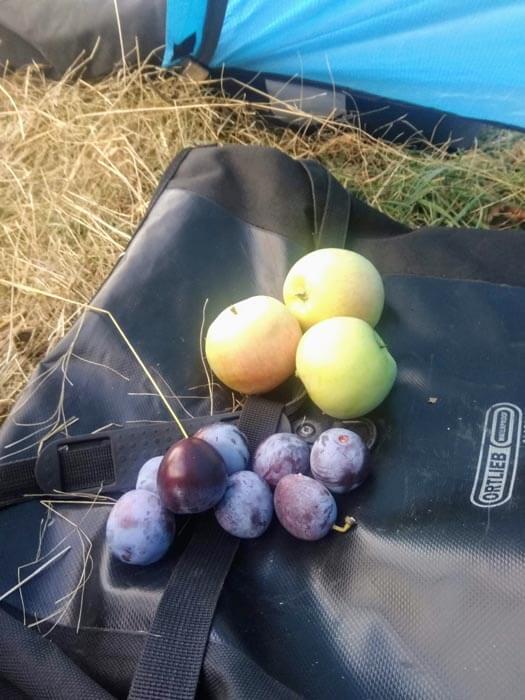 cueillette de prunes et pommes