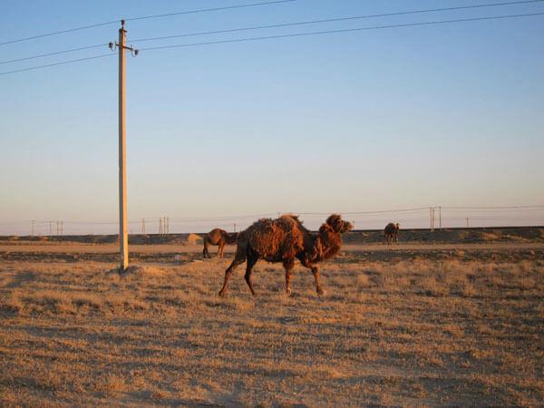 Chameau désert