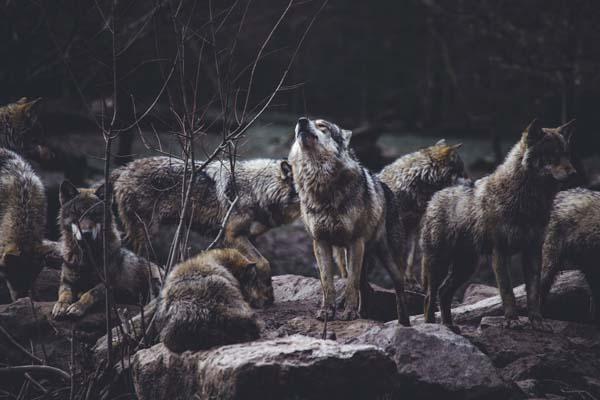 camping sauvage loup